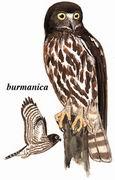 鹰鸮 Brown Hawk Owl