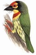赤胸拟啄木鸟 Coppersmith Barbet