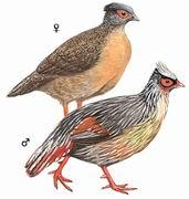 血雉 Blood Pheasant