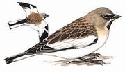 白斑翅雪雀 White-winged Snowfinch