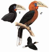 棕颈犀鸟 Rufous-necked Hornbill