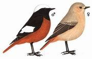 红腹红尾鸲 White-winged Redstart