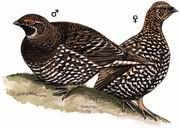 镰翅鸡 Sickle-winged Grouse