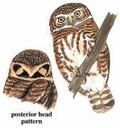 领鸺鹠 Collared Owlet