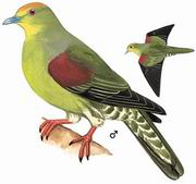 红顶绿鸠 Whistling Green Pigeon