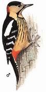 黄颈啄木鸟 Darjeeling Woodpecker
