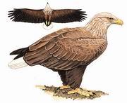 白尾海雕 White-tailed Sea Eagle