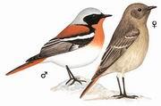 红背红尾鸲 Rufous-backed Redstart