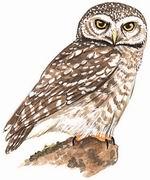横斑腹小鸮 Spotted Owlet