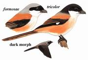 棕背伯劳 Long-tailed Shrike