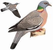 斑尾林鸽 Common Wood Pigeon