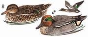 绿翅鸭 Common Teal