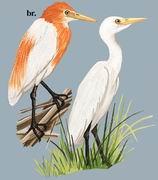 牛背鹭 Cattle Egret
