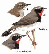 黑胸歌鸲 White-tailed Rubythroat