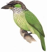 黄纹拟啄木鸟 Green-eared Barbet