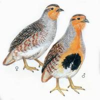 斑翅山鹑 Daurian Partridge