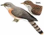 普通鹰鹃 Common Hawk Cuckoo