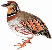白眉山鹧鸪 White-necklaced Partridge