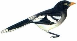 白翅蓝鹊 White-winged Magpie