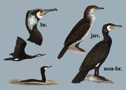 普通鸬鹚 Great Cormorant
