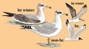渔鸥 Pallas's Gull