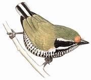 斑姬啄木鸟 Speckled Piculet