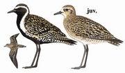 金斑鸻 Pacific Golden Plover