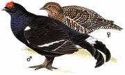 黑琴鸡 Black Grouse