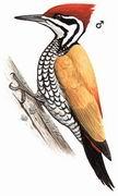 金背三趾啄木鸟 Common Flameback