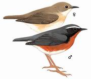 栗腹歌鸲 Indian Blue Robin