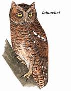 黄嘴角鸮 Sptoted Scops Owl
