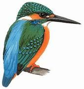 普通翠鸟 Common Kingfisher