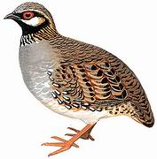 白颊山鹧鸪 White-cheeked Partridge