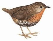 短尾鹩鹛 Rufous-throated Wren Babbler