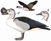 瘤鸭 Comb Duck