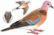 棕斑鸠 Palm Dove