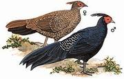 黑鹇 Kalij Pheasant
