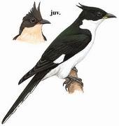 斑翅凤头鹃 Pied Cuckoo