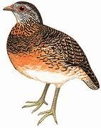 绿脚山鹧鸪 Scaly-breasted Partridge