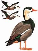 冠麻鸭 Crested Shelduck