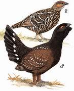 黑嘴松鸡 Spotted Capercaillie
