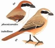 棕尾伯劳 Rufous-tailed Shrike