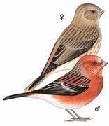 北朱雀 Pallas's Rosefinch