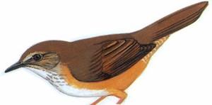 高山短翅莺 Russet Bush-Warbler