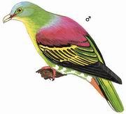 厚嘴绿鸠 Thick-billed Green Pigeon