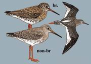 红脚鹬 Common Redshank