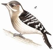 小星头啄木鸟 Pygmy Woodpecker