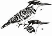 斑鱼狗 Pied Kingfisher