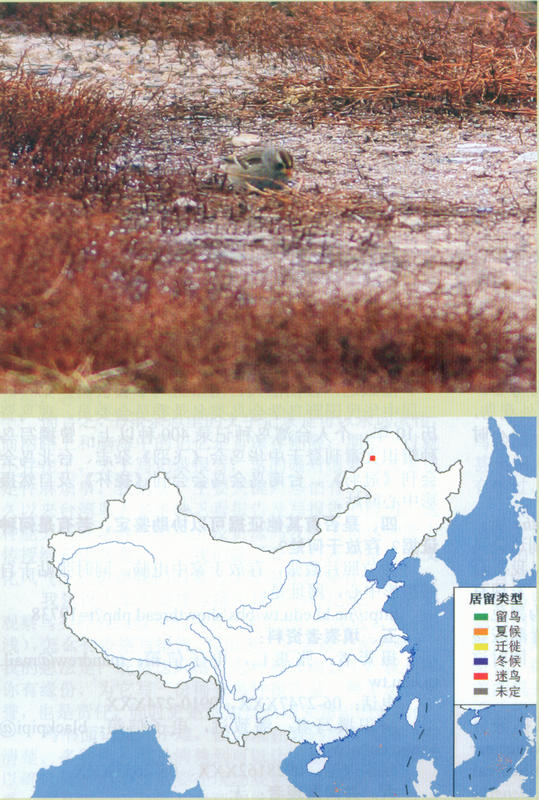 白冠带鹀  White-crowned Sparrow
