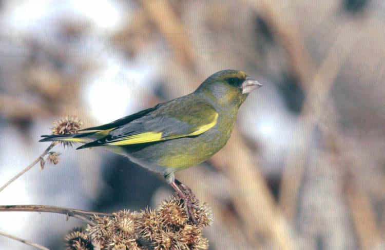 欧金翅雀 European Greenfinch